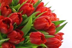 Tulipas vermelhas frescas com gotas da água Foto de Stock