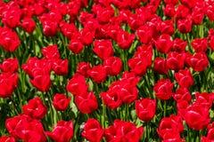 Tulipas vermelhas na flor completa Imagens de Stock