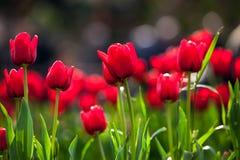 Tulipas vermelhas na primavera Fotos de Stock