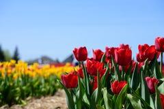 Tulipas vermelhas no campo das tulipas Imagem de Stock
