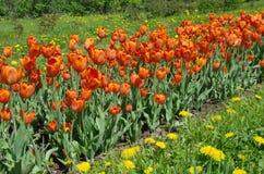 Tulipas vermelhas no canteiro de flores Foto de Stock Royalty Free