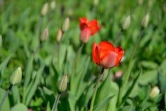 Tulipas vermelhas no canteiro de flores da florescência e dos botões Imagem de Stock