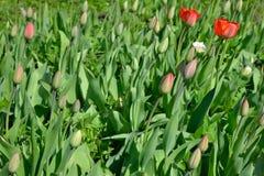 Tulipas vermelhas no canteiro de flores da florescência e dos botões Fotos de Stock