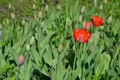 Tulipas vermelhas no canteiro de flores da florescência e dos botões Foto de Stock