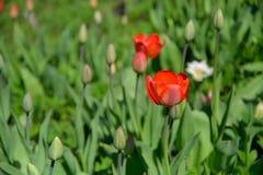 Tulipas vermelhas no canteiro de flores da florescência e dos botões Imagem de Stock Royalty Free