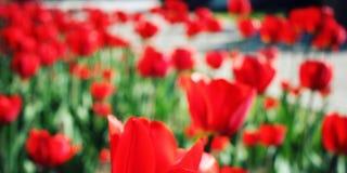 Tulipas vermelhas no canteiro de flores Foto Unfocused Macro Fotos de Stock