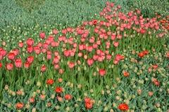 Tulipas vermelhas no canteiro de flores Grandes botões das tulipas Fotos de Stock Royalty Free