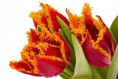 Flores vermelhas da tulipa imagem de stock royalty free