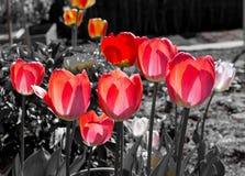 Tulipas vermelhas no fundo preto e branco Imagens de Stock Royalty Free