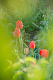 Tulipas vermelhas no jardim imagens de stock