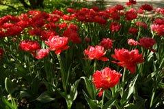 Tulipas vermelhas no jardim botânico de Moscou imagens de stock
