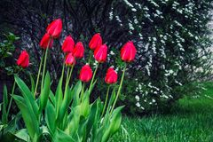 Tulipas vermelhas no jardim no tempo de mola fotos de stock royalty free