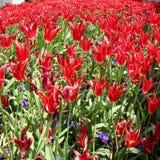 Tulipas vermelhas no palácio de Topkapi, Istambul Imagens de Stock