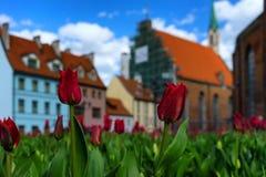 Tulipas vermelhas no quadrado em Riga velho Fotografia de Stock