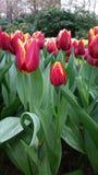 Tulipas vermelhas orlaradas amarelo com folhas molhadas Foto de Stock Royalty Free