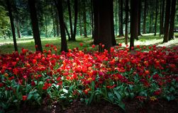 Tulipas vermelhas plantadas em um parque velho em um fundo da floresta Foto de Stock