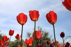 Tulipas vermelhas que banham na primavera a luz do sol imagens de stock royalty free