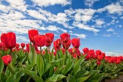 Tulipas vermelhas que florescem em Mount Vernon, Washington foto de stock royalty free