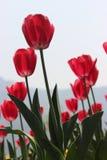 Tulipas vermelhas vibrantes em Tulip Garden famosa em Kashmir de um tiro do baixo ângulo fotos de stock royalty free