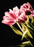 tulipas Vermelho-brancas no fundo preto Foto de Stock