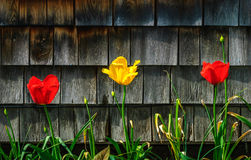 Tulipas - vermelho e amarelo preliminares Imagem de Stock Royalty Free