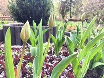 Tulipbuds in een stadsdeel Royalty-vrije Stock Afbeeldingen