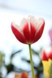 Tulipe à l'arrière-plan bleu Image libre de droits