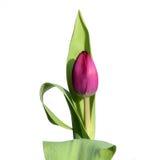 Tulipe élégante Images libres de droits