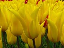 """Tulipe """"Aladdin """", tulipe lis-fleurie, fleurs en forme de gobelet avec les pétales aigus pointus Floraison jaune de beaucoup de t image stock"""