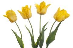 Tulipe photos stock