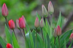 Tulipe Image stock