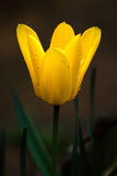 Tulipe Photos stock