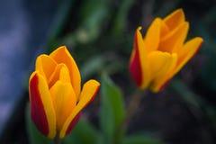 Tulipe Image libre de droits