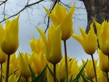 Tulipe ?Aladdin ?, tulipe lis-fleurie, fleurs en forme de gobelet avec les p?tales aigus pointus Beaucoup de tulipes jaunes fleur images stock