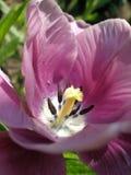 Tulipe attrayante Photographie stock libre de droits
