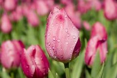 Tulipe avec des baisses de l'eau dans le rose Photographie stock libre de droits