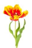 Tulipe avec des feuilles d'isolement sur le blanc Photo stock