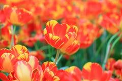 Tulipe Beau bouquet des tulipes Tulipes colorées tulipes dans s photos libres de droits