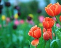 Tulipe Beau bouquet des tulipes Tulipes colorées tulipes dans s images libres de droits