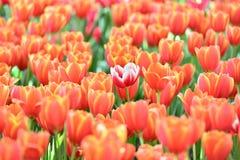 Tulipe Beau bouquet des tulipes Tulipes color?es Tulipes au printemps, tulipe color?e avec le fond brouill? images libres de droits