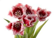 tulipe Blanc-rouge Photographie stock libre de droits