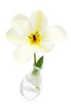 Tulipe blanche Photo libre de droits