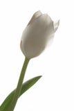 Tulipe blanche Photographie stock libre de droits
