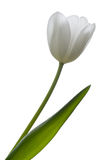 Tulipe blanche. Photo libre de droits