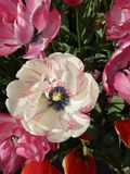 Tulipe blanche Image libre de droits