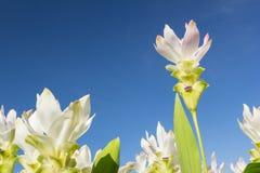 Tulipe blanche du Siam avec le ciel Photographie stock