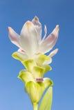 Tulipe blanche du Siam avec le fond de ciel Photos libres de droits