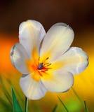 Tulipe blanche et jaune Image libre de droits