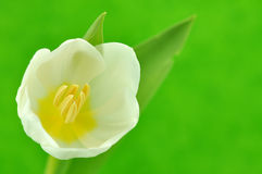 Tulipe blanche humide Photographie stock