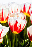 Tulipe blanche rouge Image stock